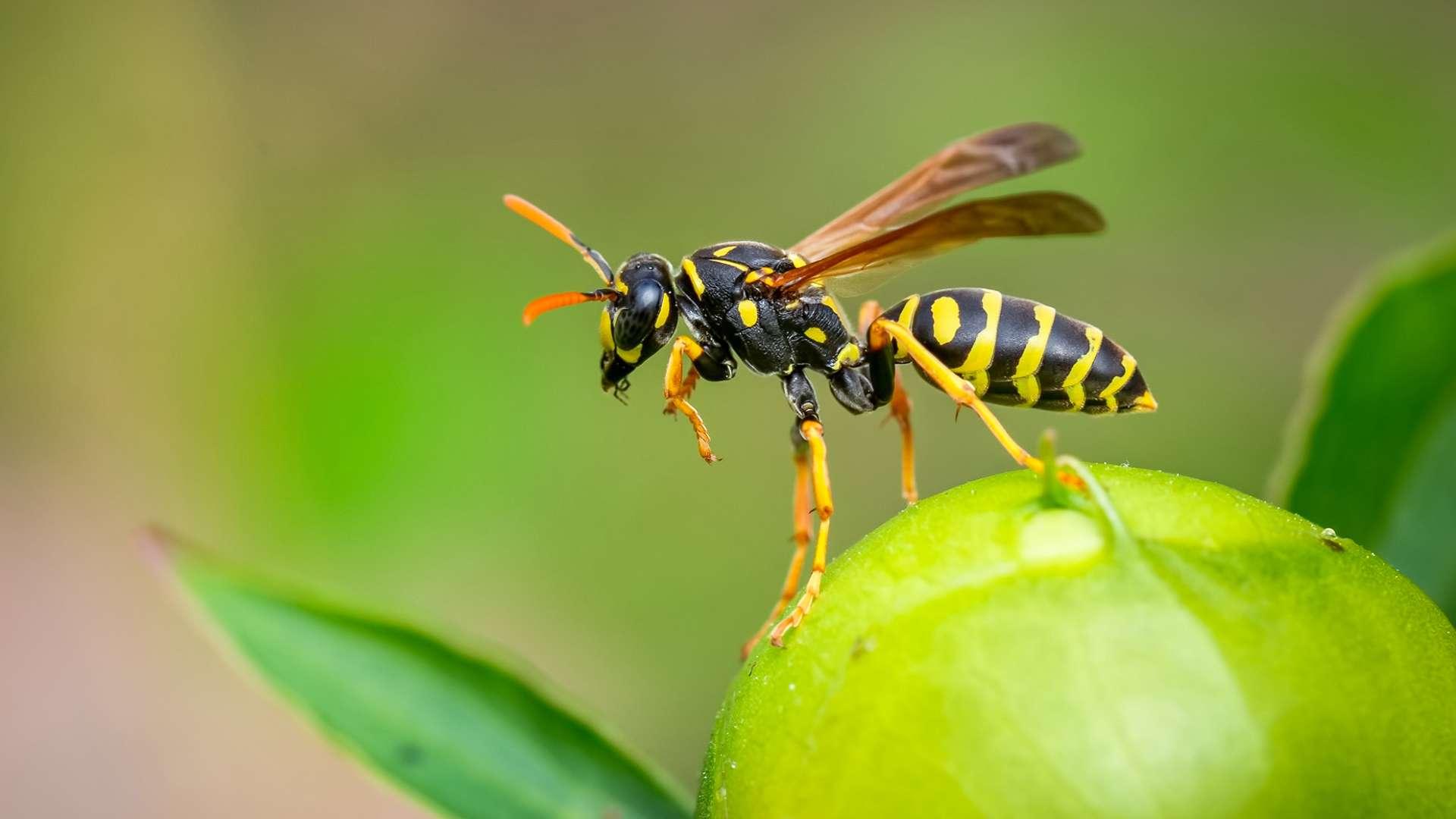 flugbereite Wespe - Wespenallergie